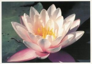 Lotus, Foto KK.