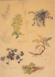 Kreidolf, E. Pflanzenstudien, 1895. KK