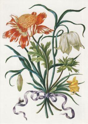 Maria Sibylla Merian. Illustration aus: Neues Blumenbuch